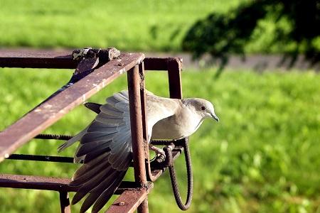 hijos palomas mensajeras